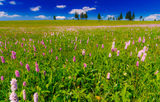 Pink wild flowers in a meadow scenery Stock Photos
