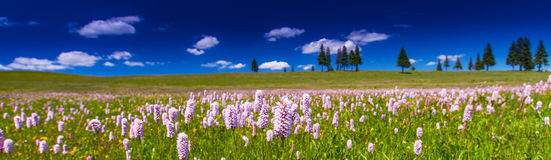 Pink wild flowers in a meadow scenery Stock Photography