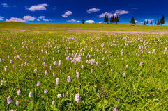 Pink wild flowers in a meadow scenery Royalty Free Stock Photography