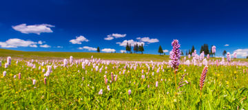 Pink wild flowers in a meadow scenery Royalty Free Stock Images