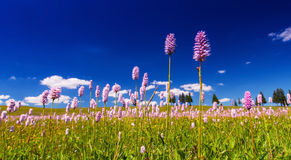 Pink wild flowers in a meadow scenery Stock Photo