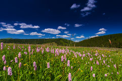 Pink wild flowers in a meadow scenery Royalty Free Stock Photos