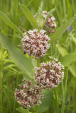 Pink wild flowers. Silkweed. Asclepias syriaca Royalty Free Stock Photos
