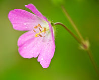 Pink Wild Geranium (Geranium maculatum). Pink wild geranium, Geranium maculatum, close-up with focus on the stamens, heralds the coming of Spring Royalty Free Stock Photography