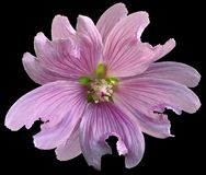 Pink wild mallow flower on the black isolated background with clipping path. Closeup. Element of design. Nature Royalty Free Stock Photography
