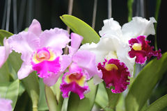 Pink of wild orchids. Stock Image