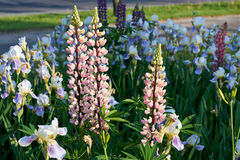 Pink wild, perennial Lupines Stock Photos