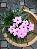 Pink wild petunia stock image