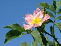 Pink wild rose Stock Image