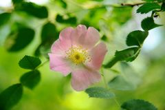 Pink wild rose flower with bokeh green leaf background Royalty Free Stock Image