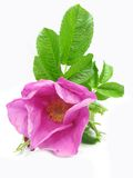 Pink wild rose flower with leaves Royalty Free Stock Photos
