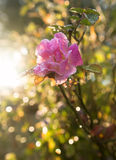Pink wild rose flower in the morning sunshine Royalty Free Stock Photos