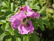 Pink wild rose with Japanese beetles Royalty Free Stock Images