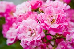 Pink Wild Roses. Pink flowers from my garden Stock Photo