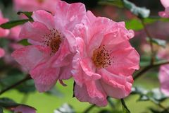 Pink wild roses Royalty Free Stock Images