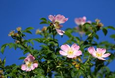 Pink wild roses in a Bush of thorns in spring Royalty Free Stock Photography