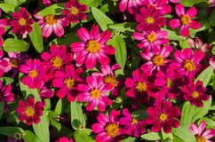 Pink wildflower is so beautiful. Group pink wildflower is so beautiful Royalty Free Stock Image