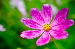 Pink wildflower Stock Images