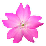 Pink WildFlower Isolated on White Background Royalty Free Stock Photography