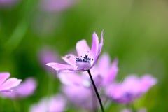 Pink wildflower. Macro shot of a pink wildflower Stock Photo
