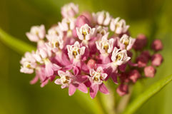 Pink wildflower in the spring Royalty Free Stock Photos