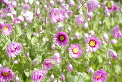 Pink wildflowers. Pretty pink paper daisy wild flowers in a field Stock Images