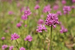 Pink Wildflowers. A spring time burst of bright pink wildflowers in green grass Stock Image