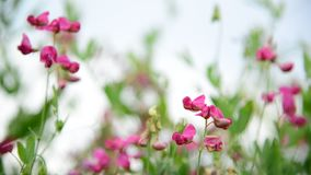 Pink wildflowers in the breeze stock footage