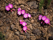 Pink wildflowers in the desert of Eastern Washington Royalty Free Stock Image