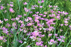 Pink Wildflowers in a Green Field. Tiny pink flowers growing wild among green grass in a country field in spring royalty free stock image