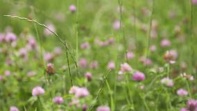 Pink wildflowers growing in green grass meadow. Pink fresh spring wildflowers growing in green grass meadow on summer day, close up stock video