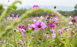 Pink wildflowers meadow on field. Pink wildflowers meadow with most cloudy sky in split tone style Royalty Free Stock Photo