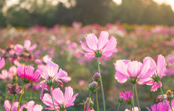 Pink wildflowers meadow on field. Royalty Free Stock Photos
