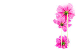 Pink wildflowers meadow on white background. Stock Photos
