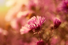 Pink wildflowers in the sunlight Stock Photos