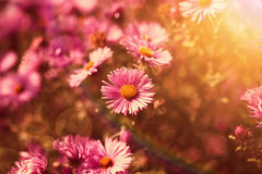 Pink wildflowers in the sunlight Royalty Free Stock Photo