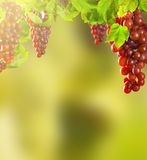 Pink wine grapes Stock Photo