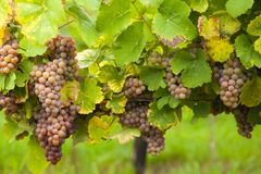 Pink wine grapes on vineyard Stock Photography