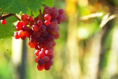 Pink Wine Grapes In Vineyard royalty free stock photos