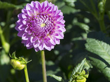 Pink Winkie Pat Dahlia Flower Head and Buds stock photo
