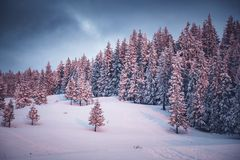pink winter sunrise of snow covered firs - beautiful moutain landscape - Christmas backgrund stock photos