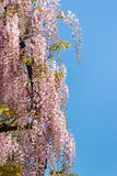 Pink wisteria flowers in bloom against blue sky Stock Photo