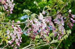 Pink Wisteria trellis Royalty Free Stock Images