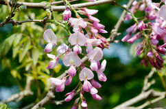 Pink Wisteria trellis Stock Photography