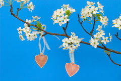 Pink wood hearts hanging from pear tree branch with blossoms Royalty Free Stock Image
