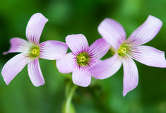 Pink Wood Sorrel Royalty Free Stock Photo