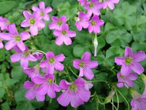 Pink Wood Sorrel (Oxalis) Plants Blossoming in Florida. Royalty Free Stock Images