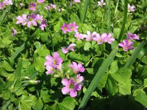Pink Wood Sorrel (Oxalis) Plants Blossoming on Lawn in Florida. Stock Photography