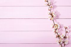 Pink wooden background with branches of blossoming apricot and copy space for text. Pink  wooden background with branches of blossoming apricot and copy space Royalty Free Stock Photo