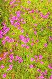Pink woodsorrel (Oxalis corymbosa) Royalty Free Stock Images